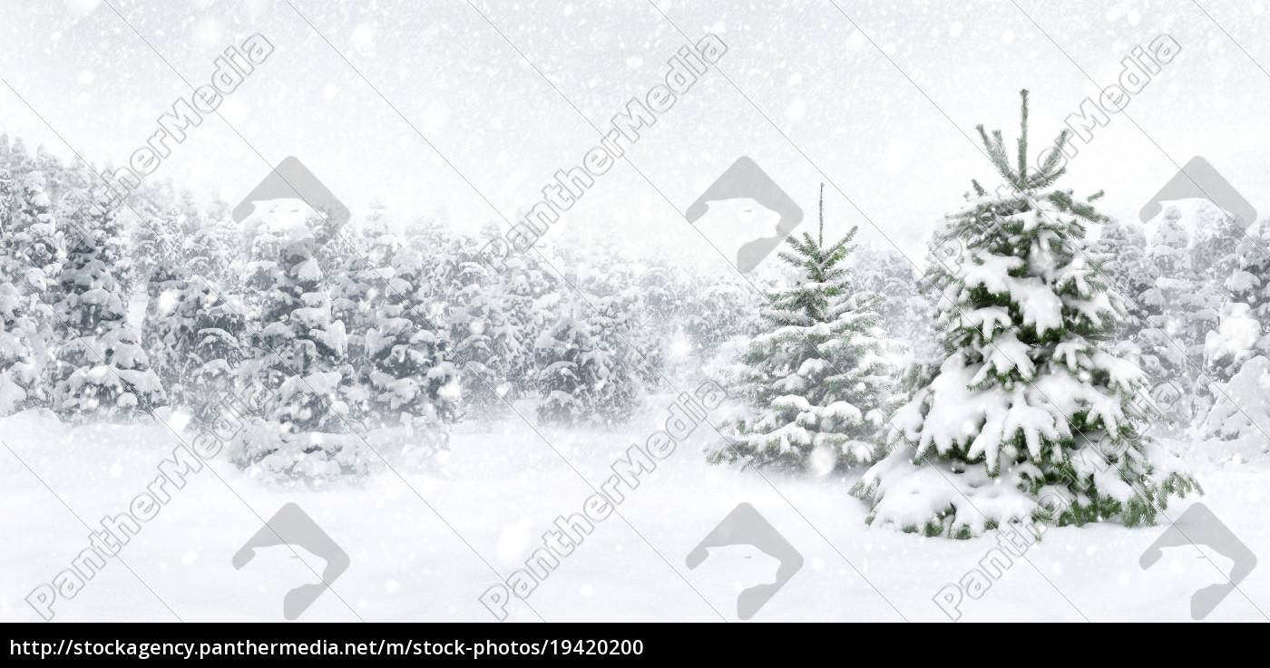 fir, trees, in, the, snow, at - 19420200