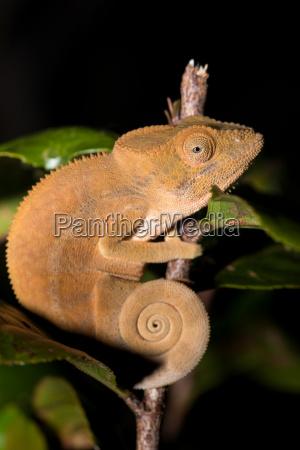 parsons chameleon calumma parsonii