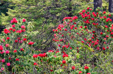 a brilliant giant red rhododendron stands