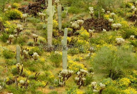 spring desert landscape sonoran desert arizona