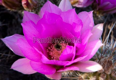 thelocactus in bloom baja california mexico