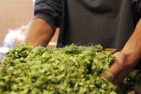 man holding hops in brewery