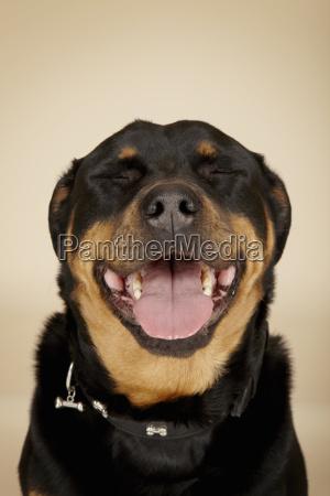close up studio portrait of rottweiler