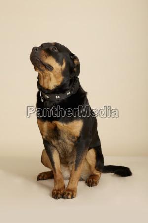 studio portrait of rottweiler dog looking