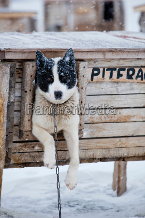huskies wait at their kennels to