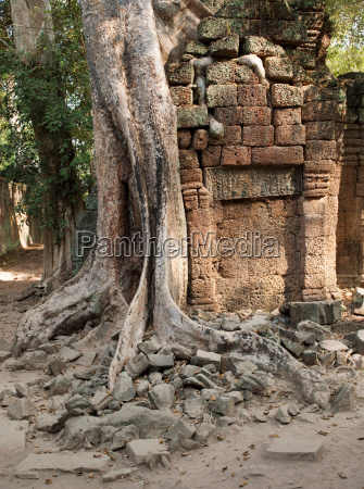 thick tree roots grow through the