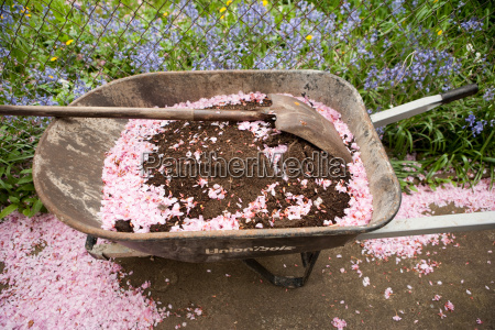 wheelbarrow with soil and pink petals