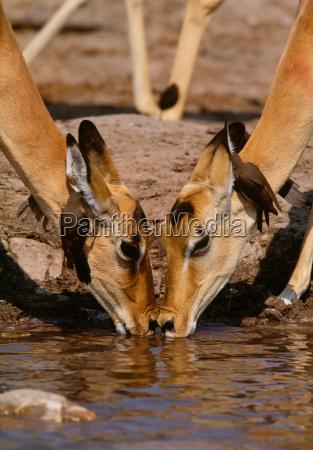 impala and oxpeckers chobe national park