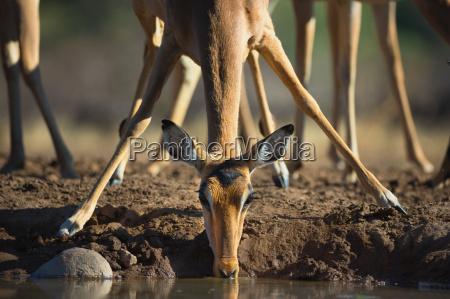 an impala aepyceros melampus drinking at