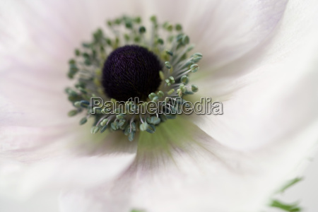 close up of white anemone flower