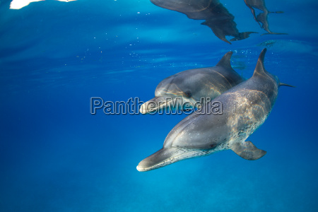 pair of spotted dolphin