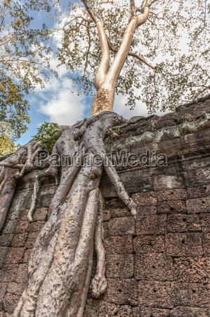 overgrown tree roots at ta prohm