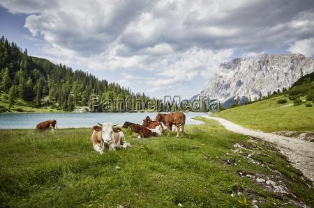 cows in lakeside valley ehrwald tyrol