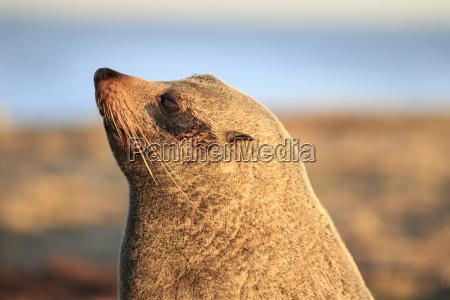 southern fur seal arctocephalus forsteri katiki