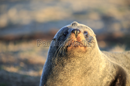 portrait of southern fur seal arctocephalus
