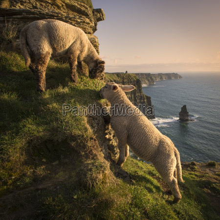 sheep on cliffs of moher liscannor