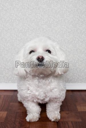 portrait of a maltese dog