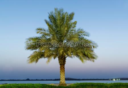 date palm tree adu dhabi united