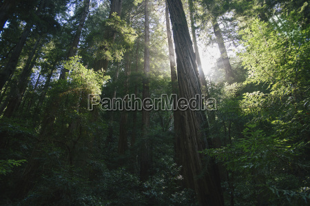 forest in sunlight mill valley marin
