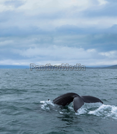 whales tail iceland