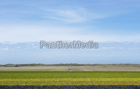 bulb fields on the island of