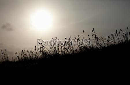 backlit reeds