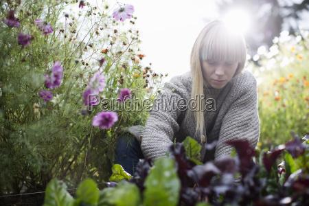 mid adult woman tending lettuce in