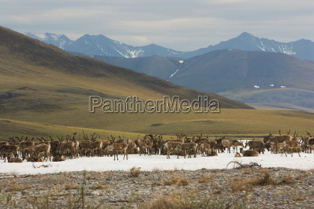 a herd of five hundred caribou