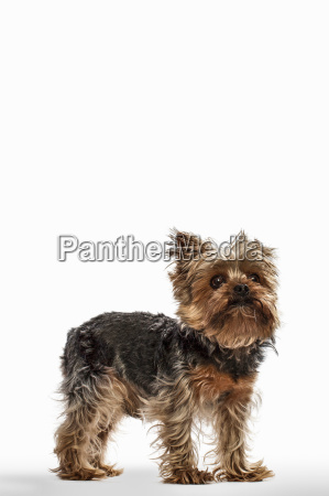 yorkshire terrier teacup dog looking up