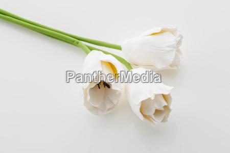 beautiful white tulip flowers