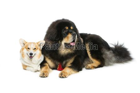 corgi and mastiff dogs