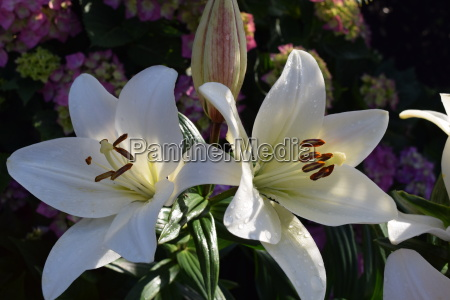 lily lily flower flower white large