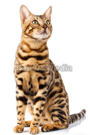 bengal cat on white background quietly