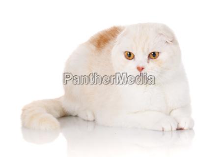 white shorthair british cat with yellow