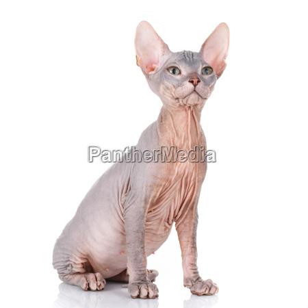 gray shorthair british cat with yellow
