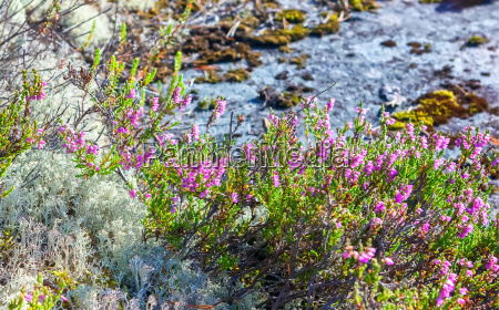 blooming heather and reindeer lichen closeup