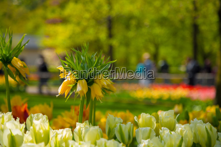 crown imperial yellow flower in a
