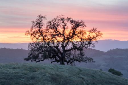 sunset oak tree silhouette