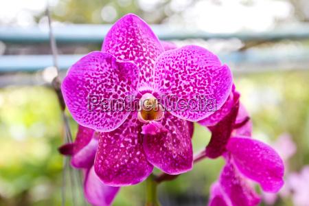beautiful violet orchid in garden