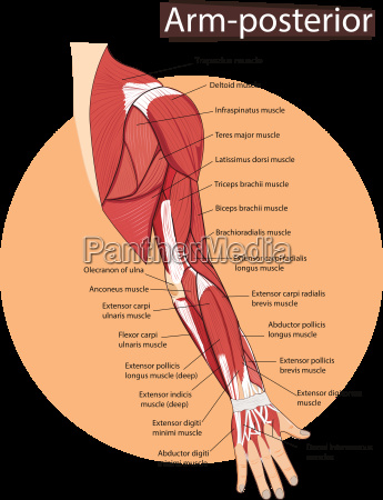 vector illustration of arm anatomy