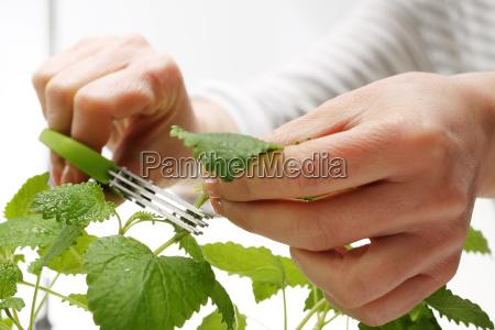 scissors for herbs mint home grown