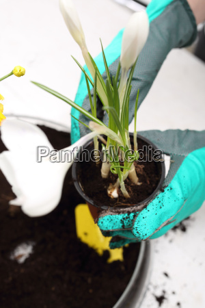 the woman plants colorful flowers in