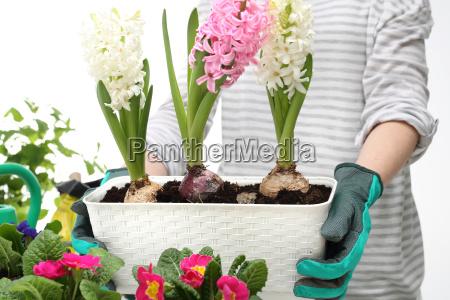 hyacinths spring floral composition