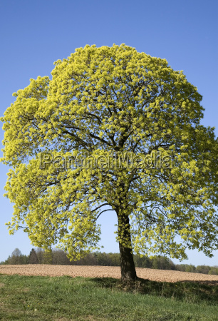 blooming maple acer platanoides saxony germany