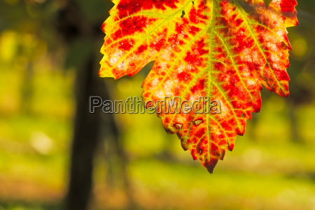grape leaf red and green in