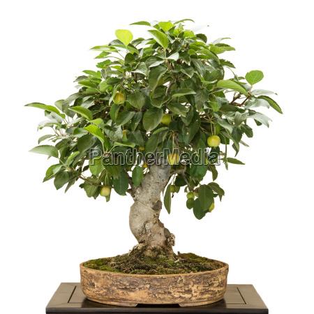 apple tree malus as bonsai with