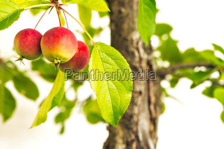 3 ripe red apples on a