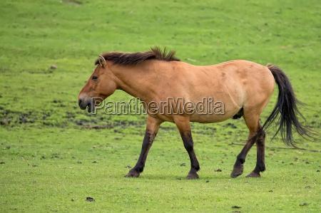przewalskis horse on the run