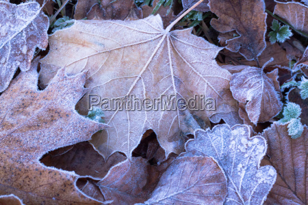 winter frost on autumn leaves
