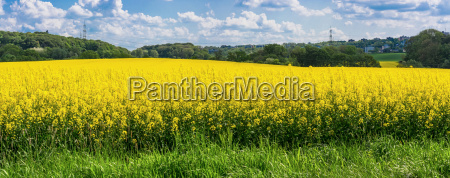 blooming canola field with blue sky